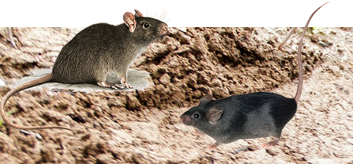 Pittsburgh Rat Control